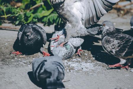 Pigeon Stomp