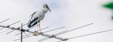 Bird on TV Antenna