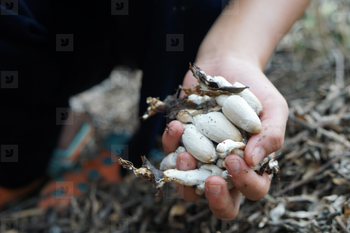 Hand holding freshly Mushrooms