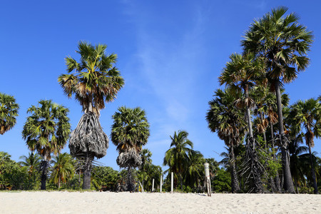 Sugar Palms on the Beach