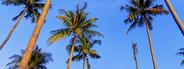 Tall Palm Trees  1