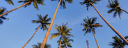 Tall Palm Trees  2