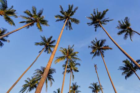 Tall Palm Trees 2