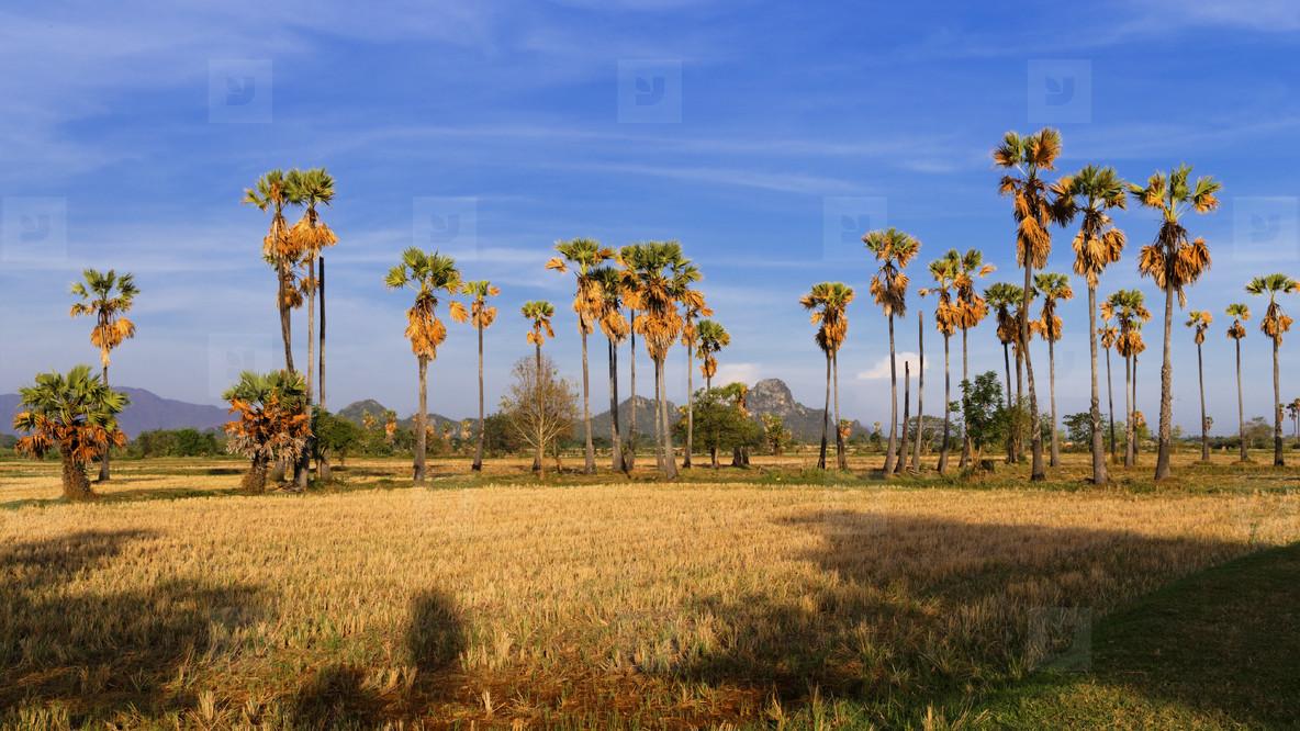 Thailand Dry Season  Sugar Palms