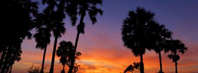 Sugar Palm  Sunrise   1