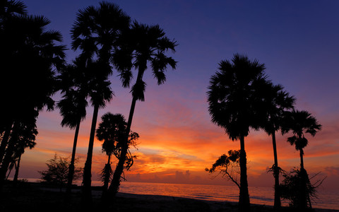 Sugar Palm Sunrise 1
