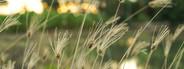 Weed flower swaying