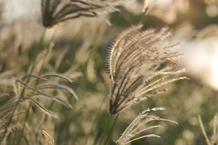 Summer flowering grasses