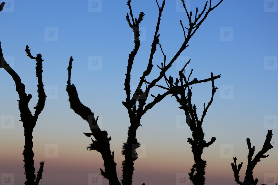 Silhouette of dry trees