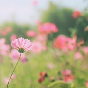 Pink cosmos flowers in garden