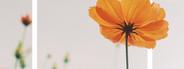 cosmos flower and design frame