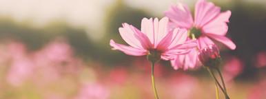 Pink cosmos flowers in garden