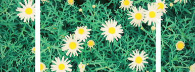 daisy flowers and design frame