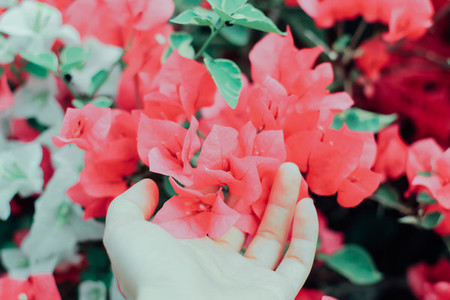 Bougainvillea flower and hand