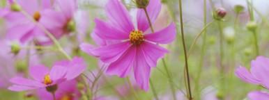 Beautiful Pink Flowers  3