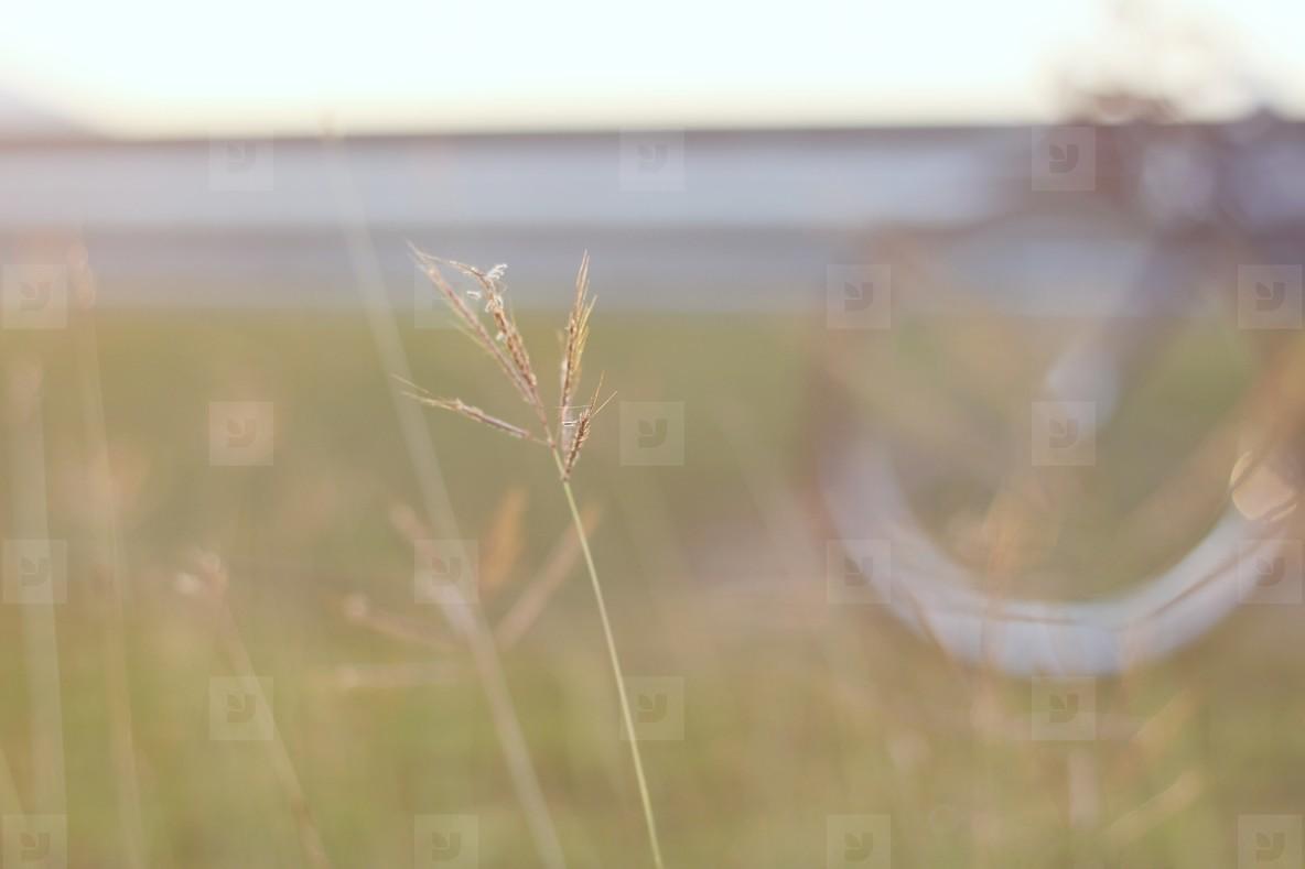 Field of grasses  1