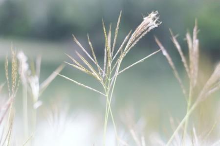 Field of grasses  2