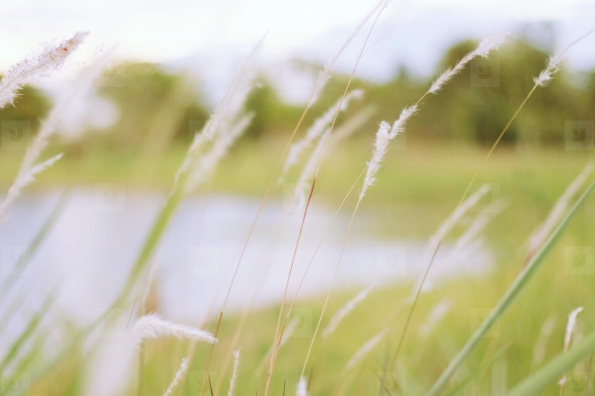 Field of grasses  3