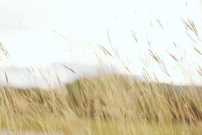 Field of grasses  4