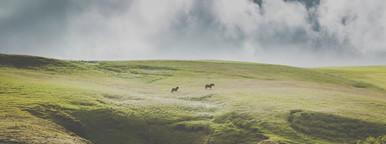 Two Icelandic horses