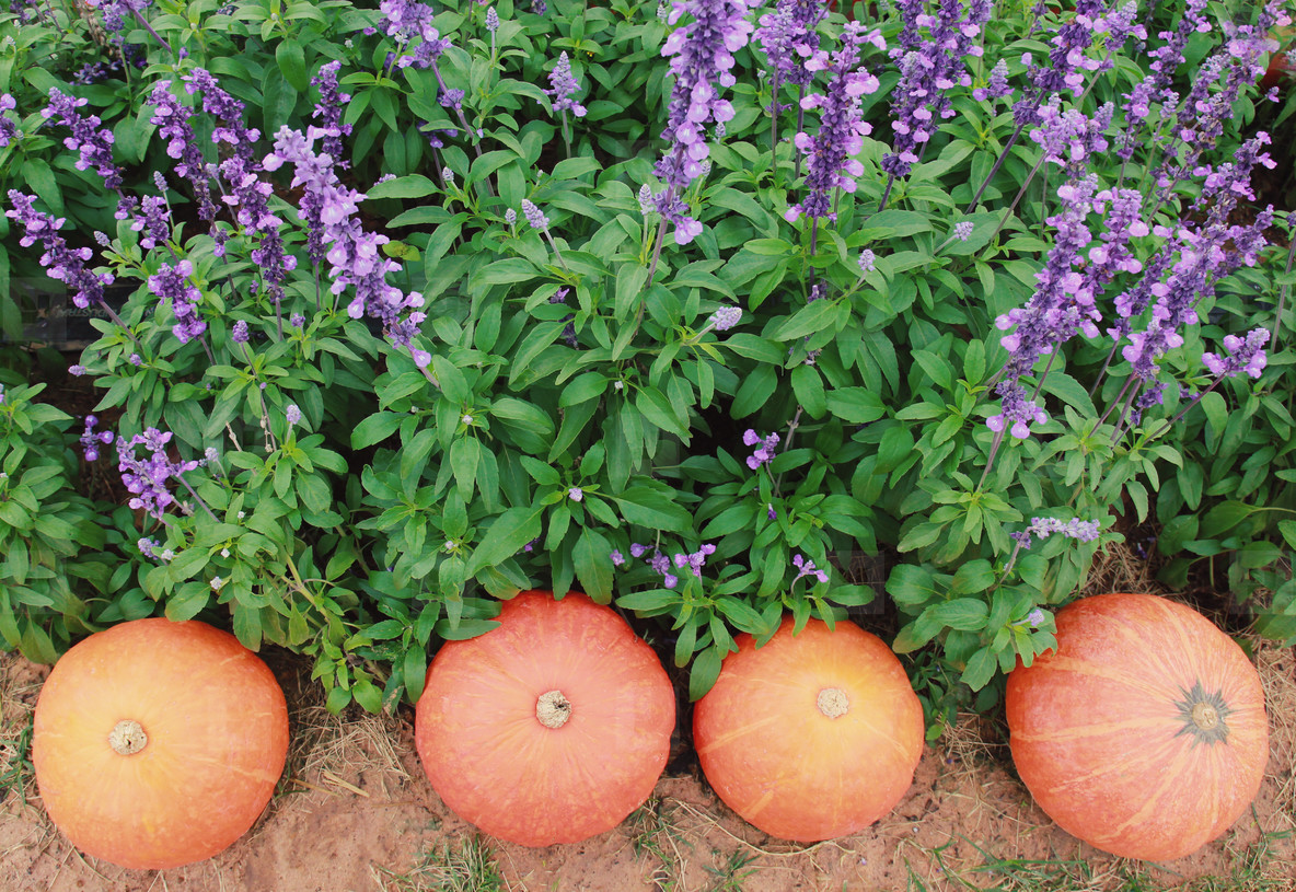 Pumpkins decorated in the garden