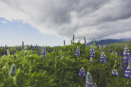 Lupine flowers  Iceland