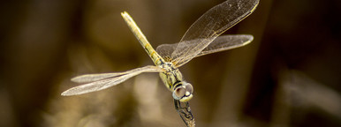 A mosquito Closeup