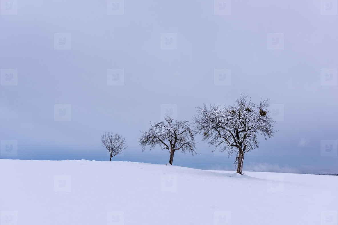 Lonesome trees   snow