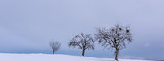 Lonesome trees   snow