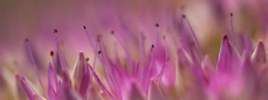 Sedum plant