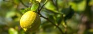 Fresh citrons