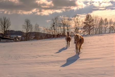 Horses in winterime