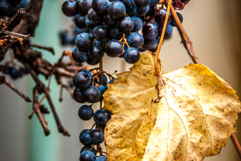 Grape in autumn