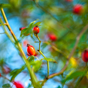 Rose hip   dog rose