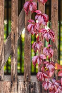 Wild vine