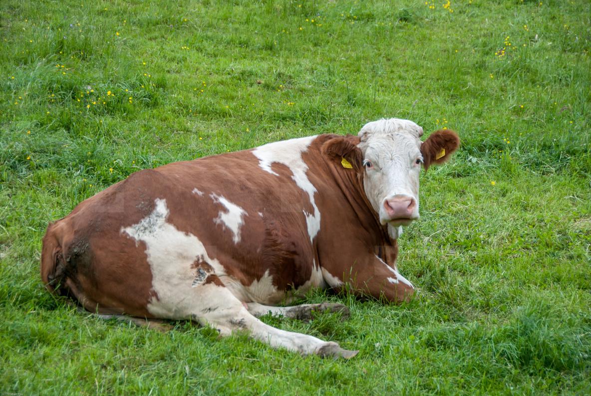 relaxing cow