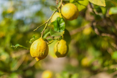Fresh lemon on a tree