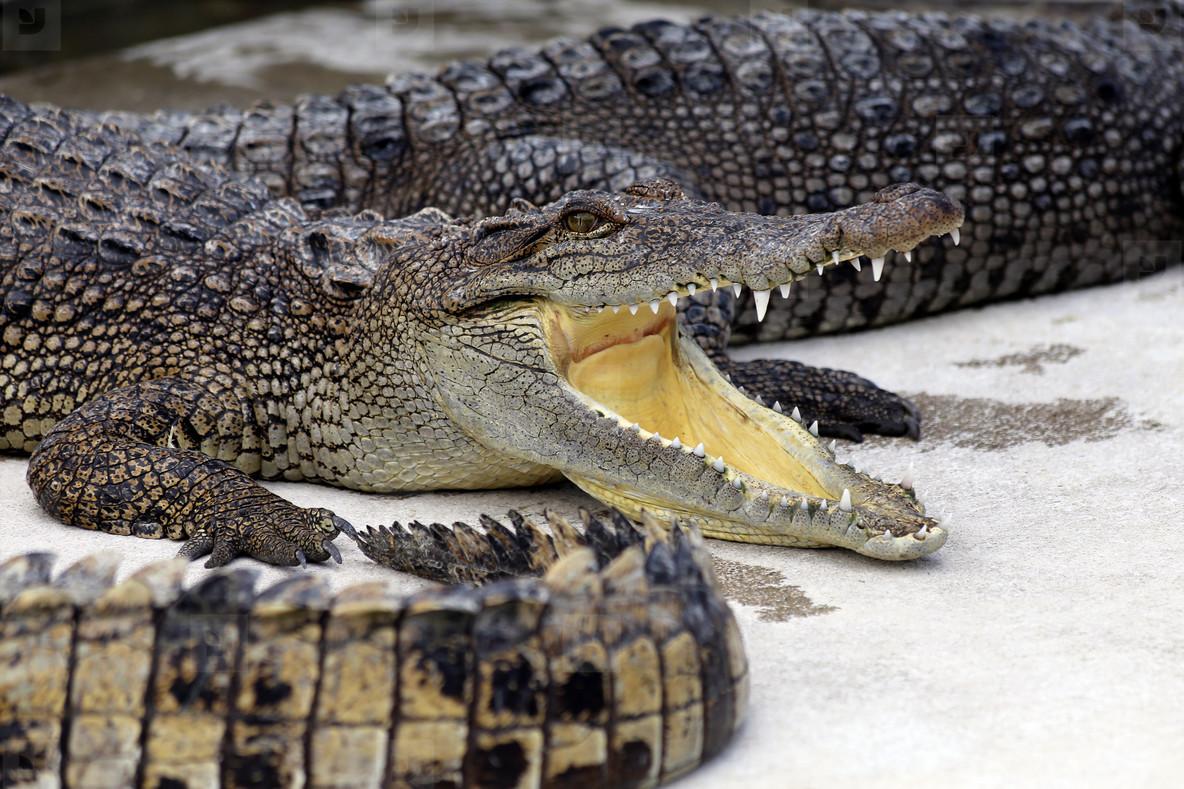 Crocodiles Smile