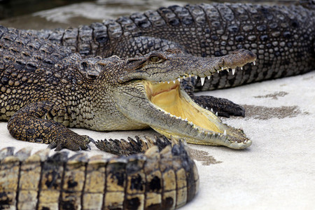 Crocodiles Smile