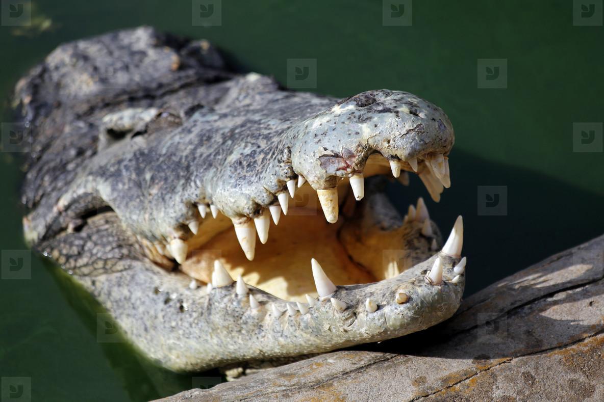 Crocodiles Teeth