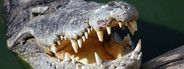 Crocodiles Teeth