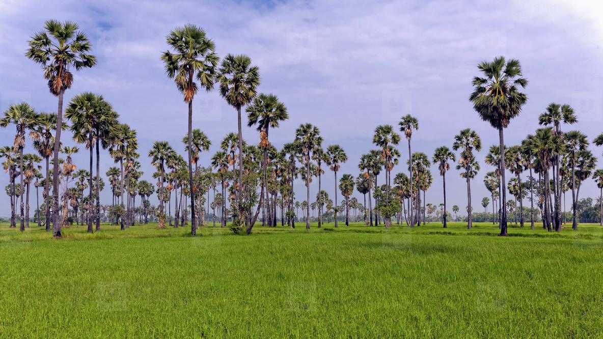 Ricefield   Sugar Palms  1