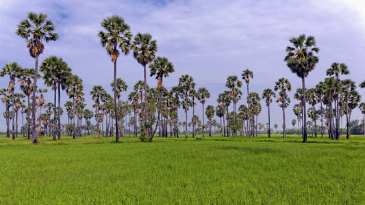Ricefield   Sugar Palms 1