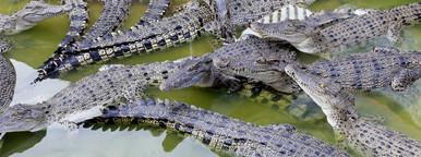 Lots of Crocodiles