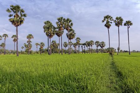Ricefield  Sugar Palms 2