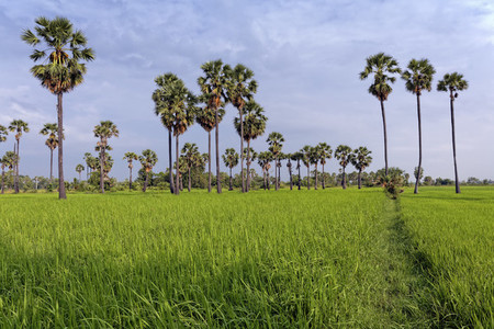 Ricefield  Sugar Palms 2
