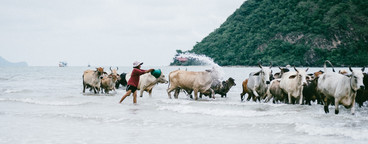 Cattle on the Beach
