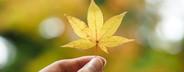 Golden maple leaf