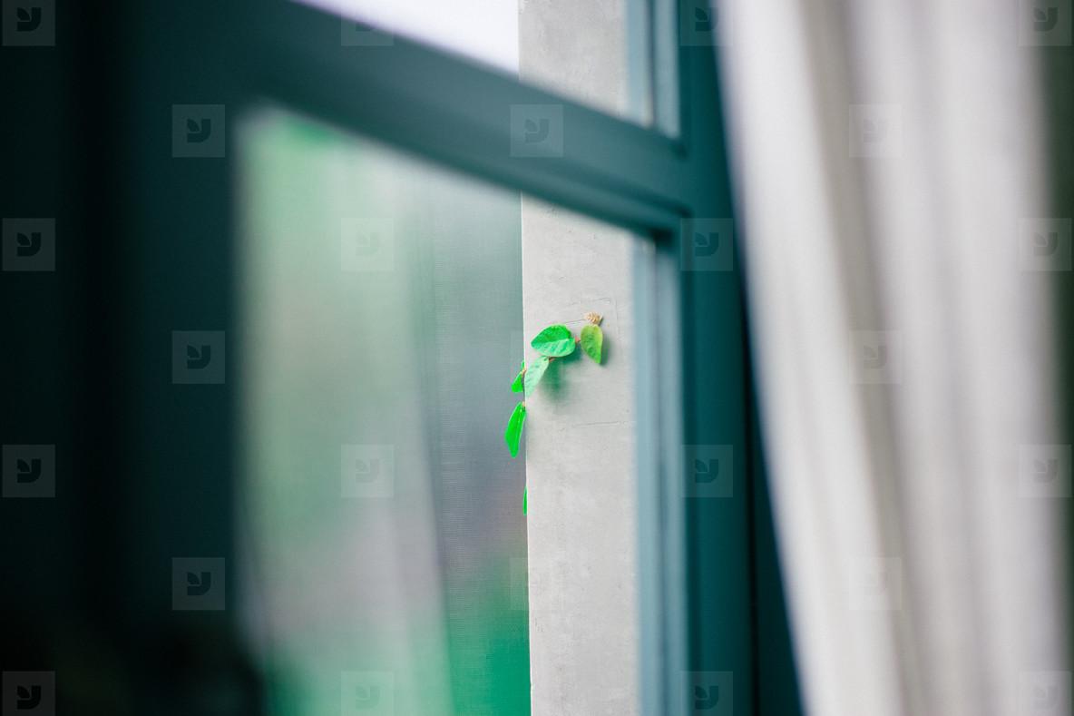 Window   Vine