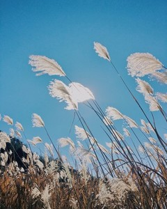 Silver grass in autumn Japan